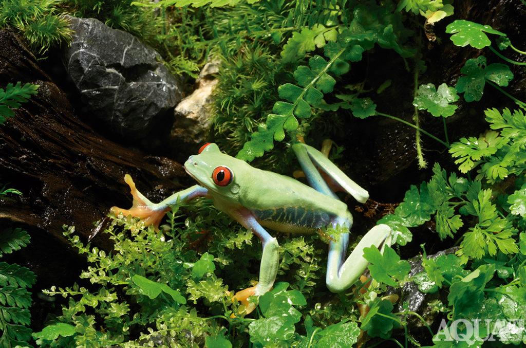 アカメアマガエルの遊ぶパルダリウム