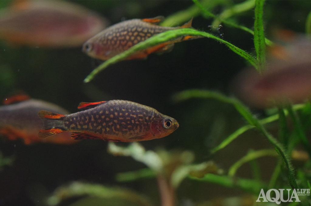 ミクロラスボラハナビ
