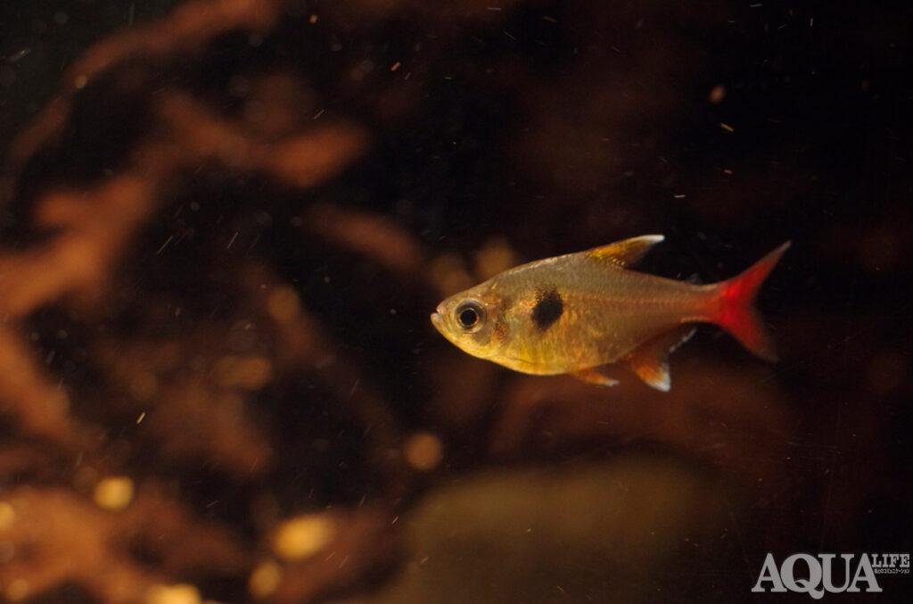 水槽熱帯魚撮影